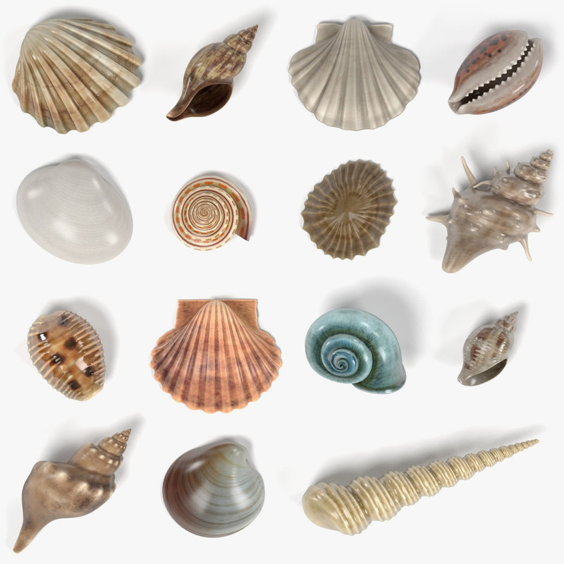 seashells shell 3d model