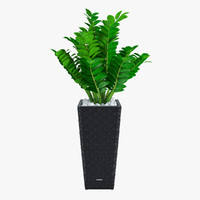 Zamioculcas - office plant