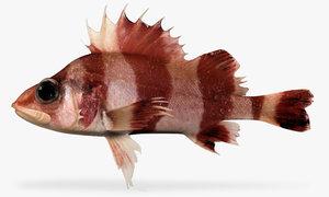 flag rockfish x