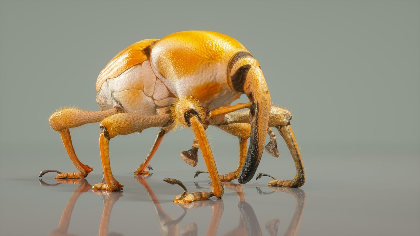 poteriophorus monilifasciatus beetle obj