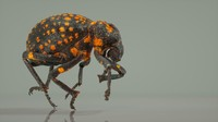 brachycerus ornatus beetle 3d obj