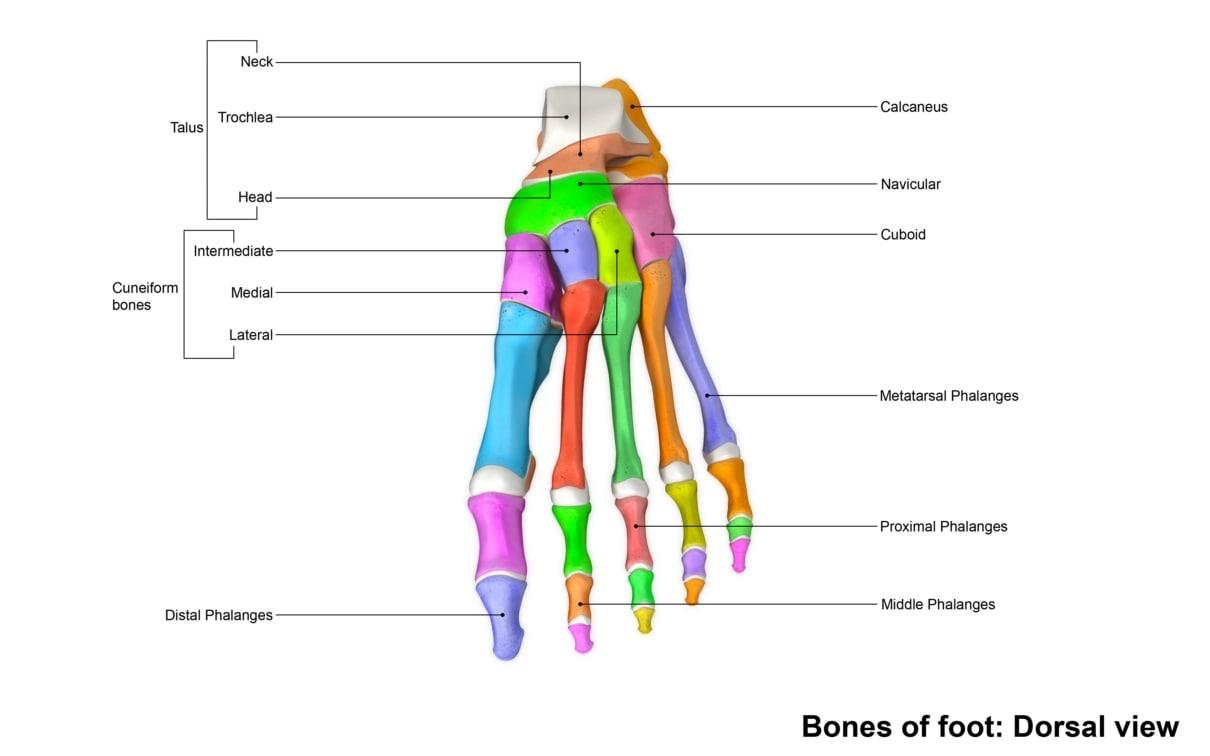 3d human foot bones anatomy rh turbosquid com