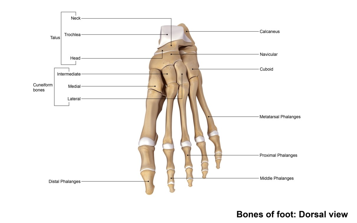 human foot bones anatomy