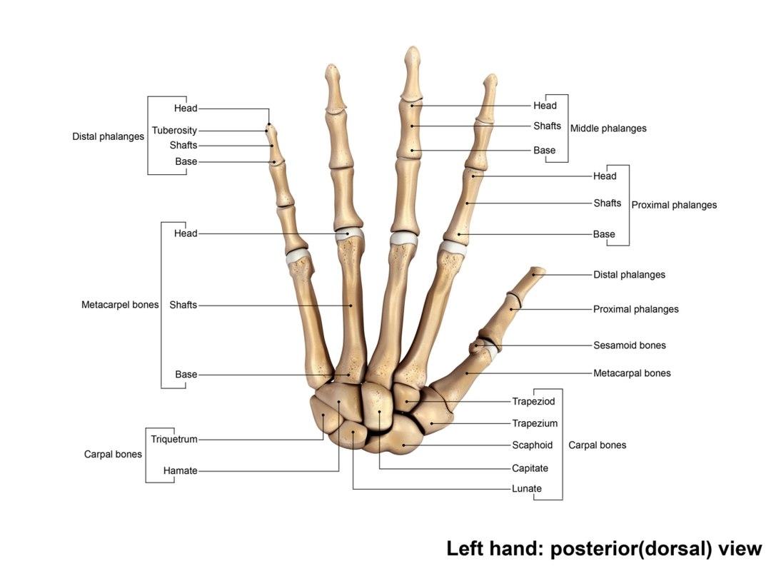 Human Wrist Hand Bones Obj