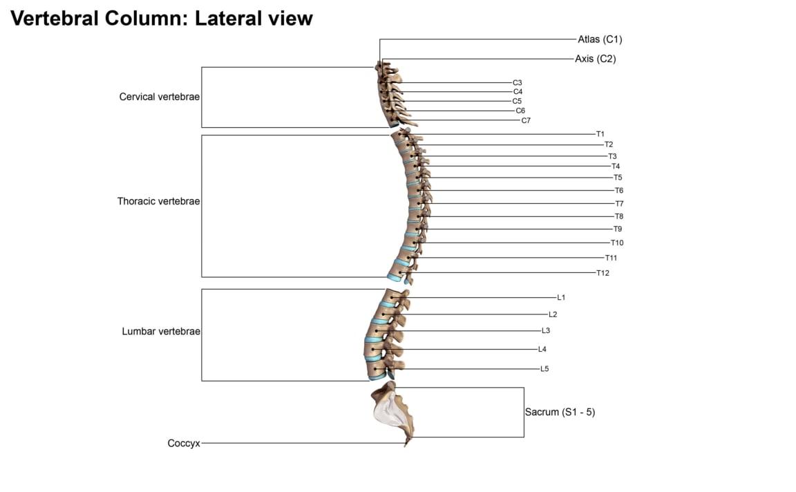 3d obj vertebral column