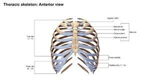 ribcage anatomy obj
