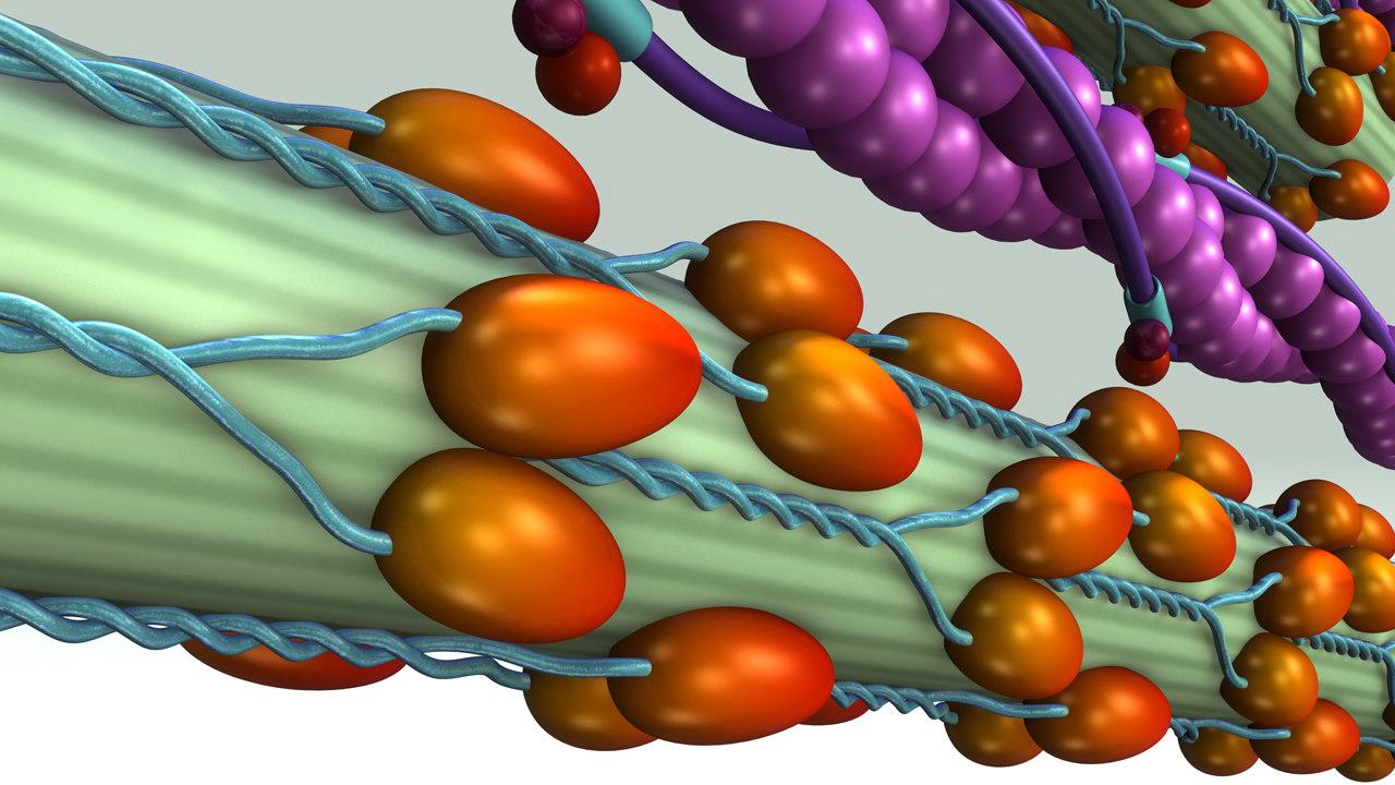 3d model of calcium troponin release