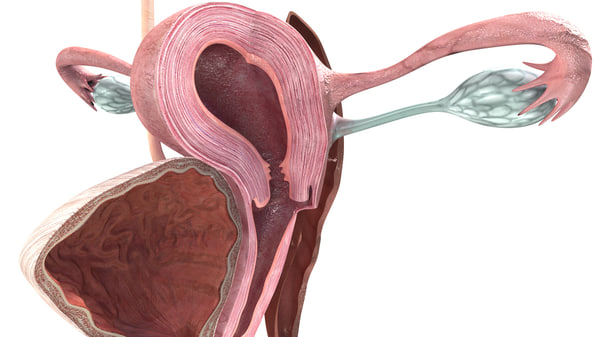 3d model female reproductive anatomy