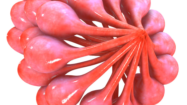 3d model mammary glands