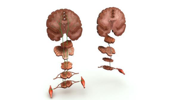 3d model motor areas brain