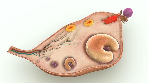 ovary anatomy ov obj