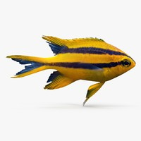 3d blackmouth bicolor chromis model