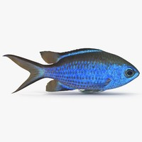 3ds blue chromis