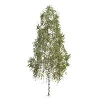 max silver birch tree