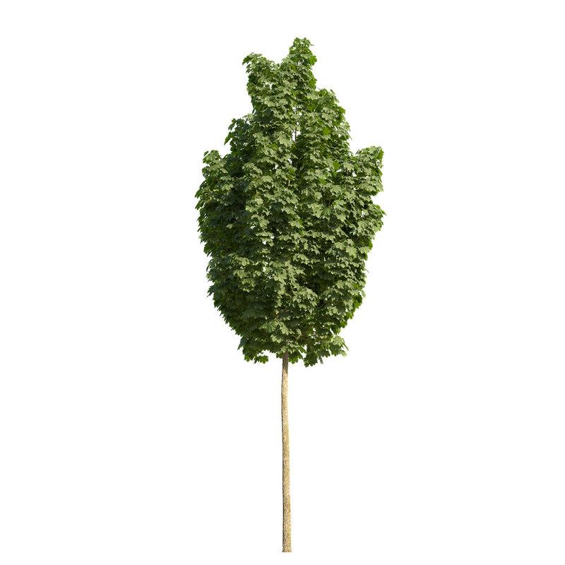 norway maple tree columnar 3d max