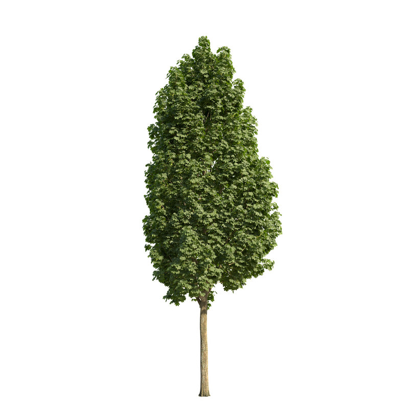 3d norway maple tree columnar