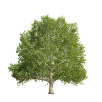 Platanus x hispanica - hero tree