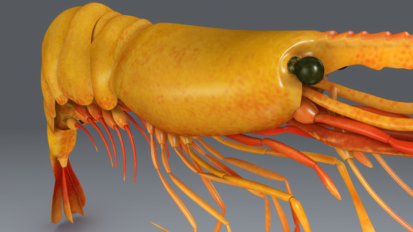 3d model prawn shrimp