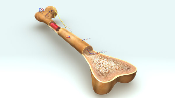 3d model bone anatomy