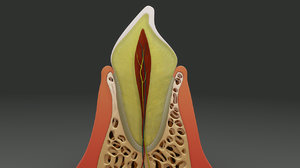 3d model human tooth anatomy