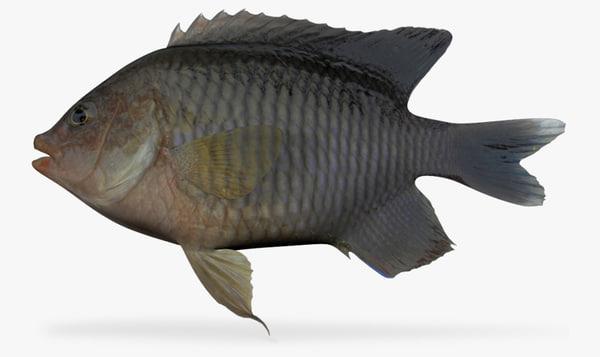 longfin damselfish 3d model