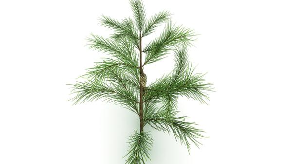 3d conifer leaf