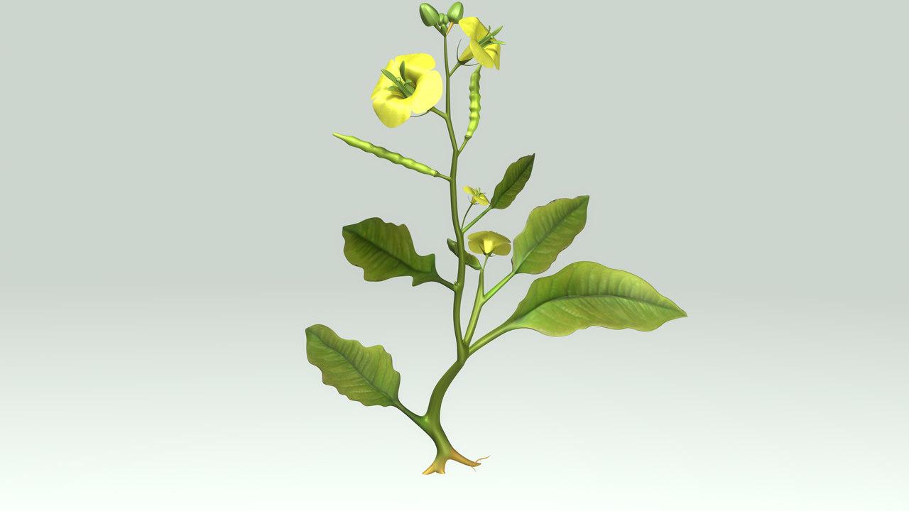 3d angiospermic plant