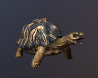 3d model radiated tortoise