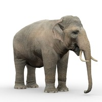 Asian Elephant Animated