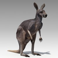 3d kangaroo animations model