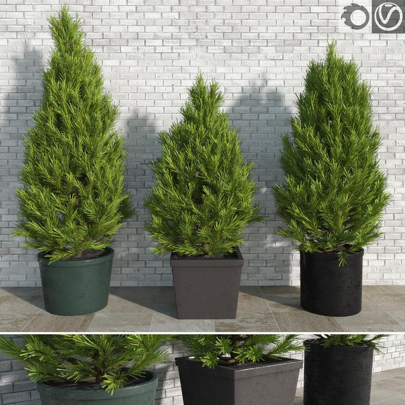 3d model realistic pinus trees pots