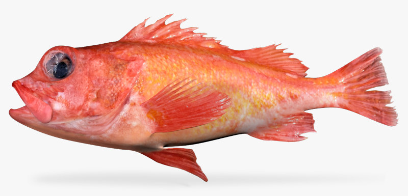 rosepink rockfish x