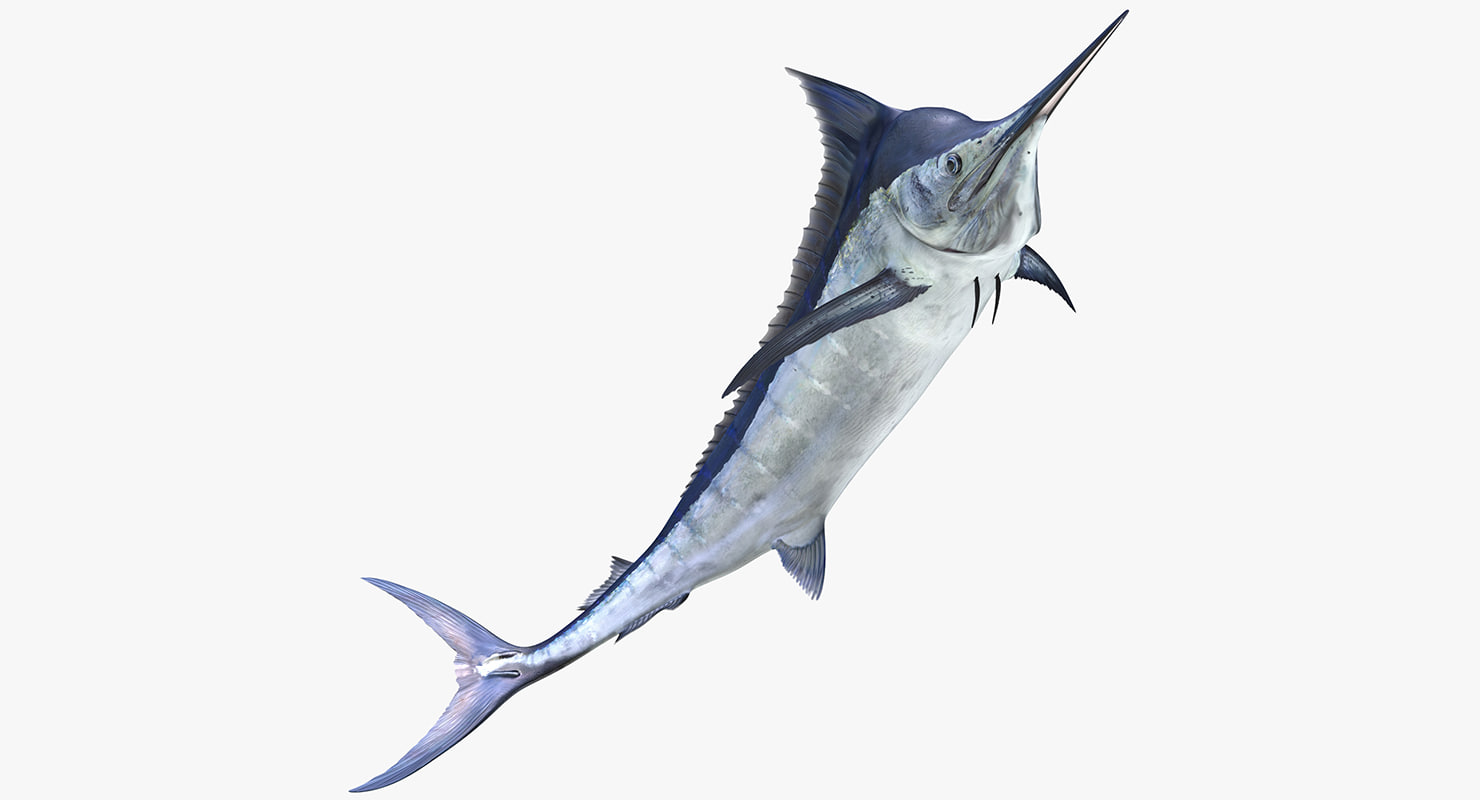 3d blue marlin pose 3