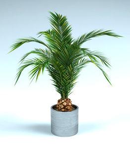 phoenix palm pot max