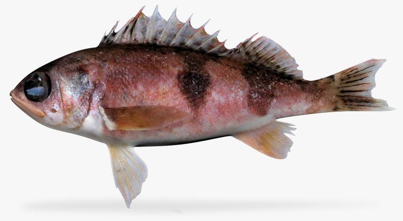 halfbanded rockfish x