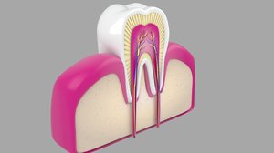 3d model of human tooth cross section