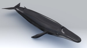balaenoptera whale fin 3d model