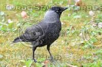 Corvus monedula 01