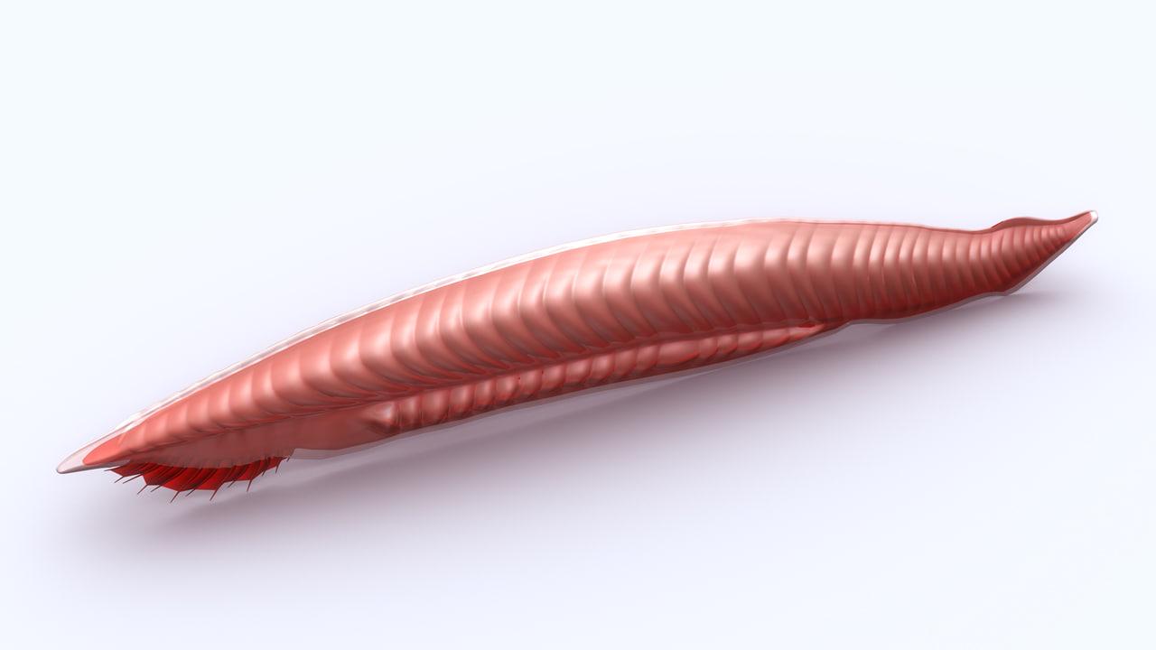 3d model lancelets