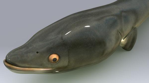3d anguilla fish n