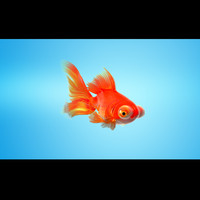 3d model goldfish rigged morphed