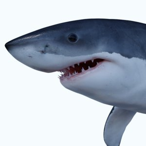 carcharodon great white shark 3d c4d