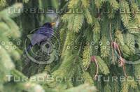 Turdus merula 01