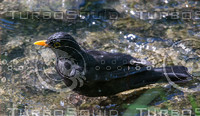 Turdus merula 13