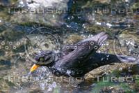 Turdus merula 14