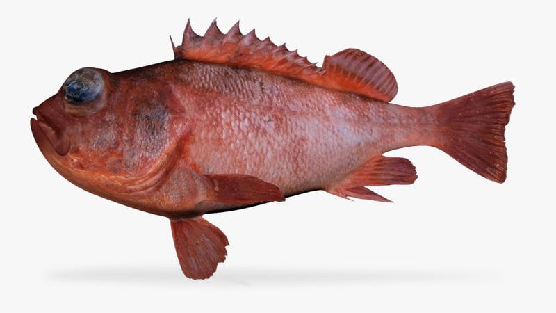 3d aurora rockfish model