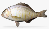 3d barred surfperch model