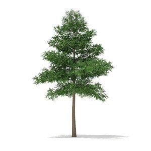 scots pine tree pinus max