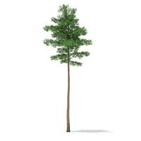 3d model scots pine tree pinus
