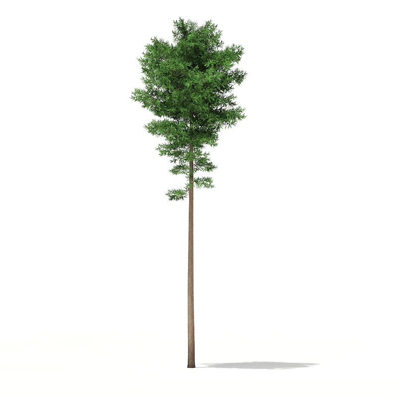 scots pine tree pinus obj